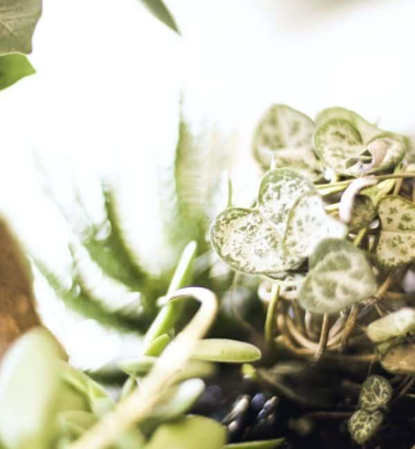 tandlaege, bente canter, plante